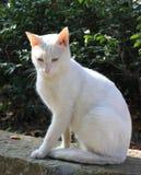 Gato del arqueamiento con los ojos amarillos y azules   Imagen de archivo libre de regalías