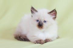 Gato del bebé Foto de archivo libre de regalías