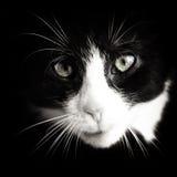 Gato del bebé blanco y negro foto de archivo