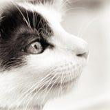 Gato del bebé blanco y negro imagen de archivo