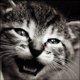 Gato del bebé blanco y negro imagen de archivo libre de regalías