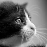 Gato del bebé blanco y negro Imagenes de archivo