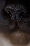 Gato del birman del santo Fotografía de archivo