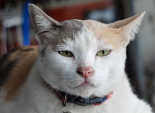 Gato del blanco y de Brown Foto de archivo libre de regalías