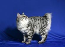 Gato del bobtail de Kuril de la casta Imágenes de archivo libres de regalías