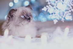 Gato del calendario del día de fiesta de la Navidad, del Año Nuevo, pi azul y blanco acogedor foto de archivo libre de regalías