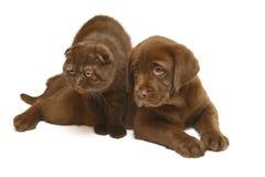 Gato del chocolate y perro del chocolate. Imagen de archivo libre de regalías