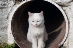 Gato del color de dos ojos Imagen de archivo libre de regalías