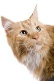 Gato del coone de Maine Foto de archivo