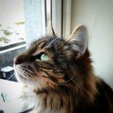 Gato del coone de Maine Fotos de archivo
