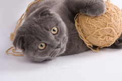 Gato del doblez del escocés foto de archivo