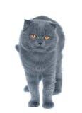 Gato del doblez del escocés Fotografía de archivo libre de regalías