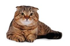Gato del doblez del escocés aislado en blanco Fotografía de archivo