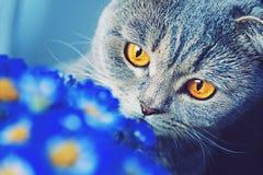 Los escoceses doblan el gato con los ojos amarillos grandes que huele las flores azules Foto de archivo