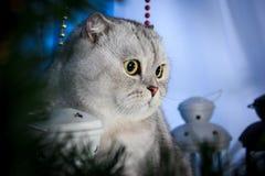 Gato del doblez del escocés en un fondo azul Fotos de archivo