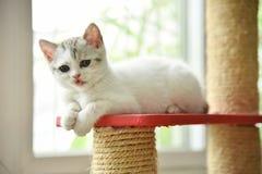 Gato del doblez del escocés que mira a la cámara Fotos de archivo libres de regalías
