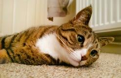 Gato del gatito que se acuesta Imágenes de archivo libres de regalías