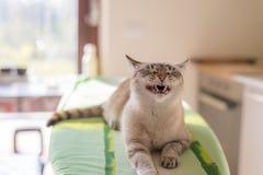 Gato del gruñido con la boca medio abierta, interior del hogar imagen de archivo
