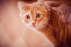 Gato del jengibre Imágenes de archivo libres de regalías