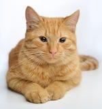 Gato del jengibre Fotos de archivo libres de regalías