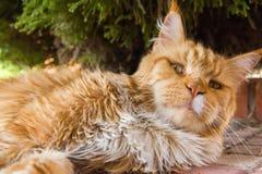 Gato del jengibre Imagen de archivo libre de regalías