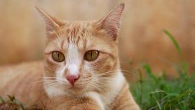 Gato del jengibre con los oídos del radar que miran, pensando y escuchando los sonidos, tiro del primer almacen de metraje de vídeo