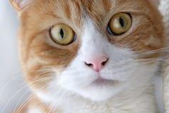 Gato del jengibre con los ojos amarillos fotos de archivo