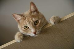 Gato del jengibre con los ojos brillantes que miran desde arriba Imágenes de archivo libres de regalías