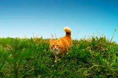 Gato del jengibre de la caza Imagen de archivo libre de regalías