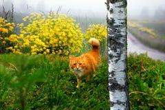 Gato del jengibre de la caza Fotos de archivo libres de regalías