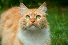 Gato del jengibre de la primavera Foto de archivo