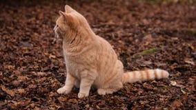 Gato del jengibre en el bosque Imagen de archivo libre de regalías