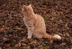Gato del jengibre en el bosque Fotografía de archivo libre de regalías