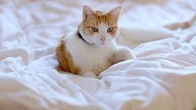 Gato del jengibre primero que miente en la cama entonces que sale de él almacen de metraje de vídeo