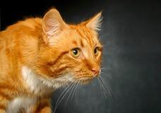 Gato del jengibre que mira fijamente a la derecha Imagen de archivo
