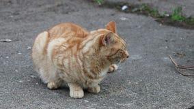 Gato del jengibre que se sienta en una trayectoria metrajes