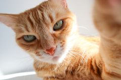 Gato del jengibre que toma un tiro del selfie y que mira seriamente Gato lindo con los ojos verdes imagenes de archivo