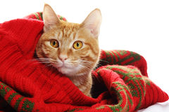 Gato del jengibre y suéter rojo imagen de archivo libre de regalías
