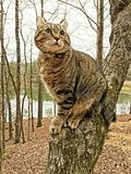 Gato del lince de la montaña en un árbol Imágenes de archivo libres de regalías