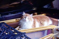 Gato del músico Imagenes de archivo