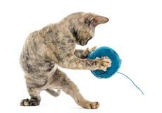 Gato del rex de Devon con una bola de las lanas aislada en blanco Foto de archivo libre de regalías
