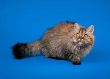 Gato del rex de Selkirk Fotografía de archivo libre de regalías