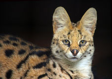 Gato del Serval Imagenes de archivo
