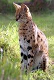 Gato del Serval Foto de archivo libre de regalías