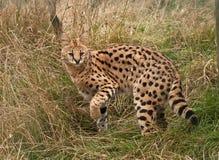 Gato del Serval que desaparece en hierba larga Fotografía de archivo