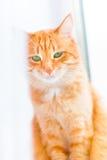 Gato del shorthair del jengibre con los ojos verdes tristes que se sientan en ventana Fotos de archivo libres de regalías