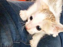 Gato del Sweety fotografía de archivo