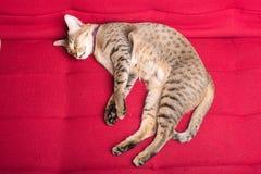 gato del tigre (gato atigrado) que se relaja Foto de archivo libre de regalías