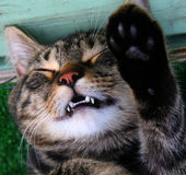 Gato del vampiro foto de archivo