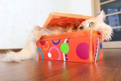 Gato dentro de uma caixa Fotos de Stock Royalty Free